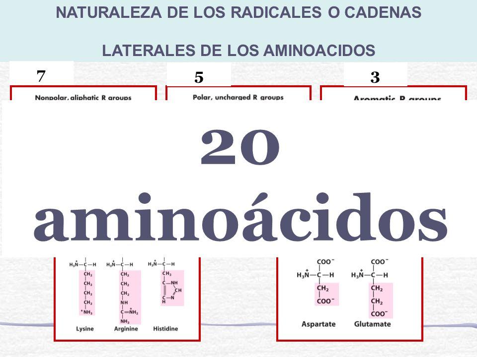 NATURALEZA DE LOS RADICALES O CADENAS LATERALES DE LOS AMINOACIDOS 7 53 23 20 aminoácidos