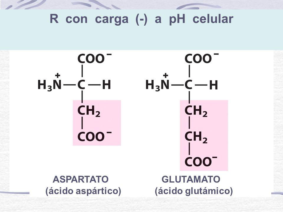R con carga (-) a pH celular ASPARTATO GLUTAMATO (ácido aspártico) (ácido glutámico)