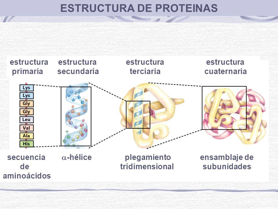ESTRUCTURA DE PROTEINAS estructura estructura primaria secundaria terciaria cuaternaria secuencia -hélice plegamiento ensamblaje de de tridimensional