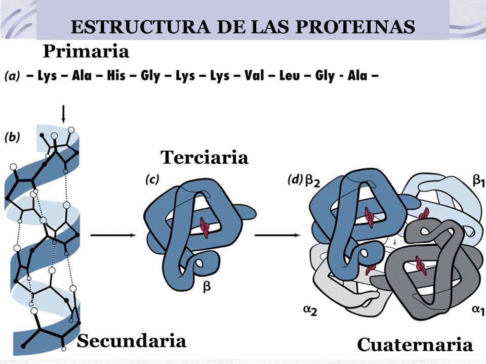 ESTRUCTURA DE LAS PROTEINAS Primaria Secundaria Terciaria Cuaternaria