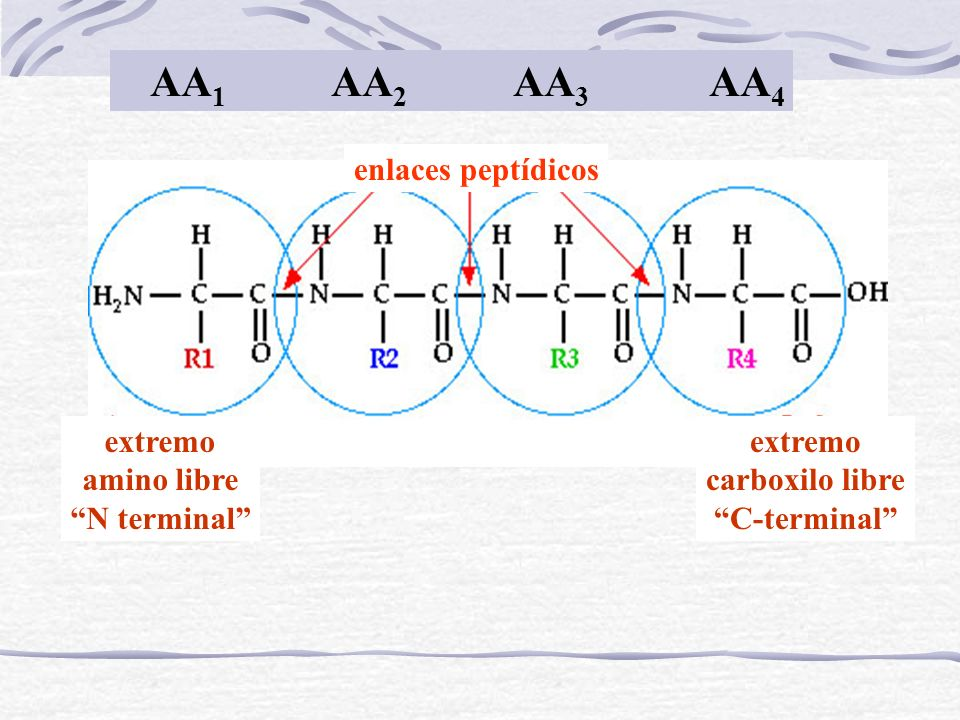 extremo amino libre N terminal extremo carboxilo libre C-terminal enlaces peptídicos AA 1 AA 2 AA 3 AA 4