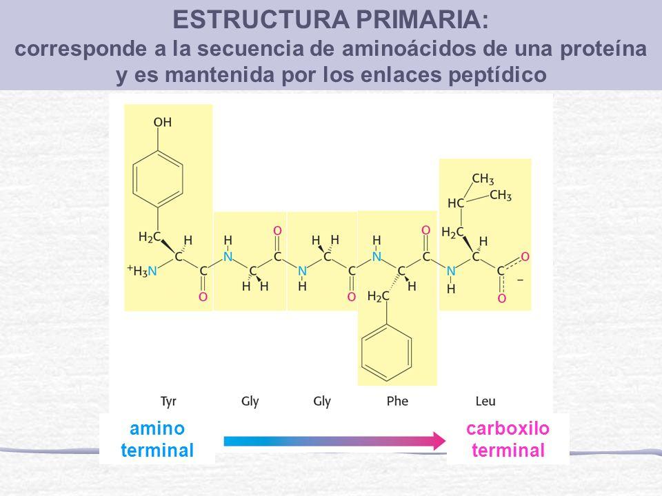 ESTRUCTURA PRIMARIA: corresponde a la secuencia de aminoácidos de una proteína y es mantenida por los enlaces peptídico amino terminal carboxilo termi