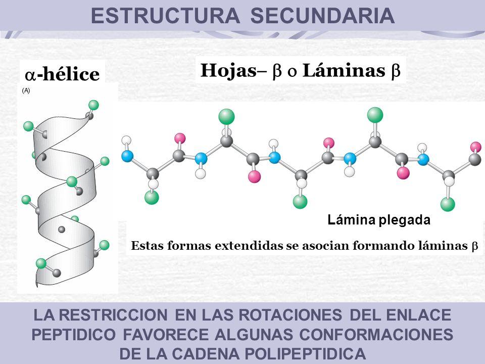 LA RESTRICCION EN LAS ROTACIONES DEL ENLACE PEPTIDICO FAVORECE ALGUNAS CONFORMACIONES DE LA CADENA POLIPEPTIDICA - hélice ESTRUCTURA SECUNDARIA Estas