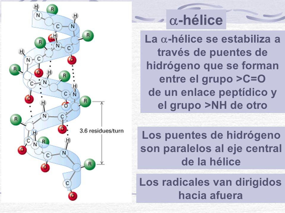 -hélice Los radicales van dirigidos hacia afuera Los puentes de hidrógeno son paralelos al eje central de la hélice La -hélice se estabiliza a través