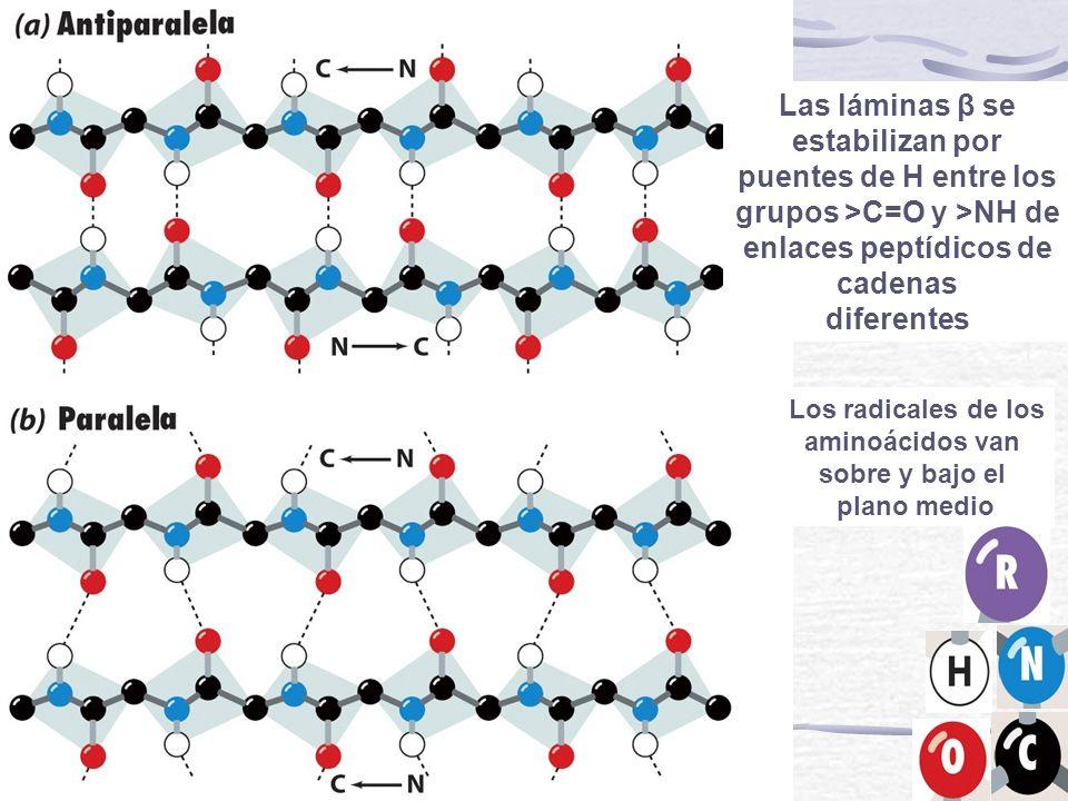 Las láminas β se estabilizan por puentes de H entre los grupos >C=O y >NH de enlaces peptídicos de cadenas diferentes Los radicales de los aminoácidos