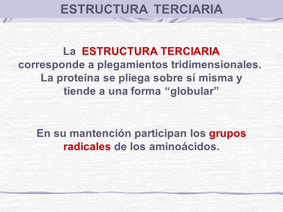 La ESTRUCTURA TERCIARIA corresponde a plegamientos tridimensionales. La proteína se pliega sobre sí misma y tiende a una forma globular En su mantenci