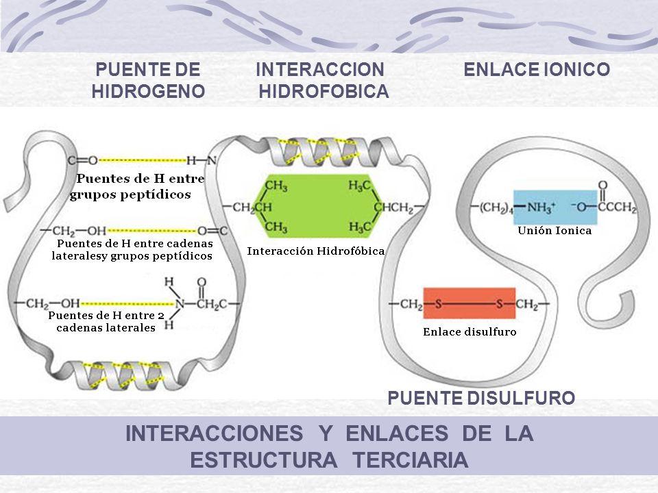 INTERACCIONES Y ENLACES DE LA ESTRUCTURA TERCIARIA PUENTE DE INTERACCION ENLACE IONICO HIDROGENO HIDROFOBICA PUENTE DISULFURO