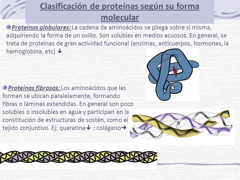 Clasificación de proteínas según su forma molecular Proteínas globulares: La cadena de aminoácidos se pliega sobre si misma, adquiriendo la forma de u