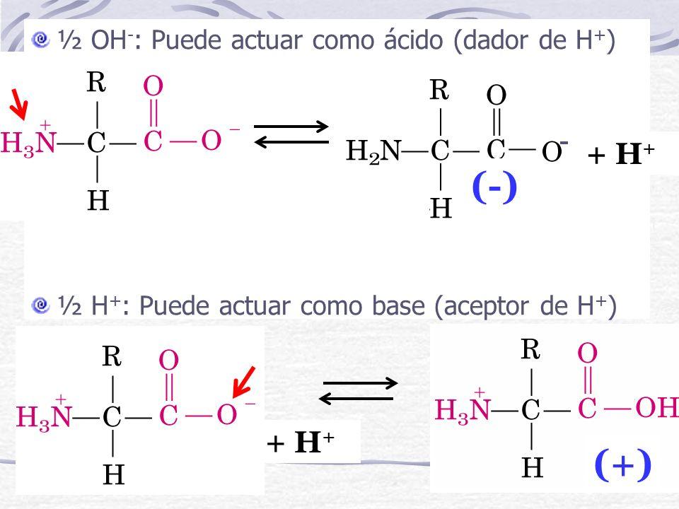 ½ OH - : Puede actuar como ácido (dador de H + ) ½ H + : Puede actuar como base (aceptor de H + ) + H + - (-) + H + (+)