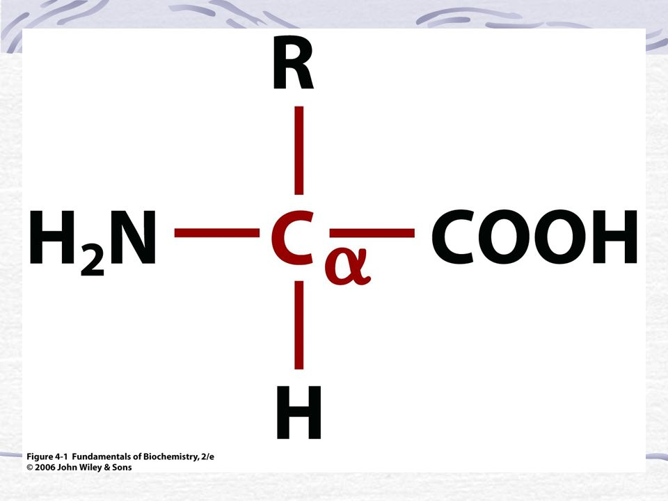 -hélice Los radicales van dirigidos hacia afuera Los puentes de hidrógeno son paralelos al eje central de la hélice La -hélice se estabiliza a través de puentes de hidrógeno que se forman entre el grupo >C=O de un enlace peptídico y el grupo >NH de otro