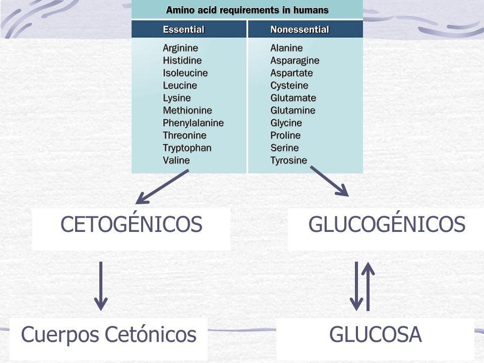 GLUCOGÉNICOS GLUCOSA CETOGÉNICOS Cuerpos Cetónicos
