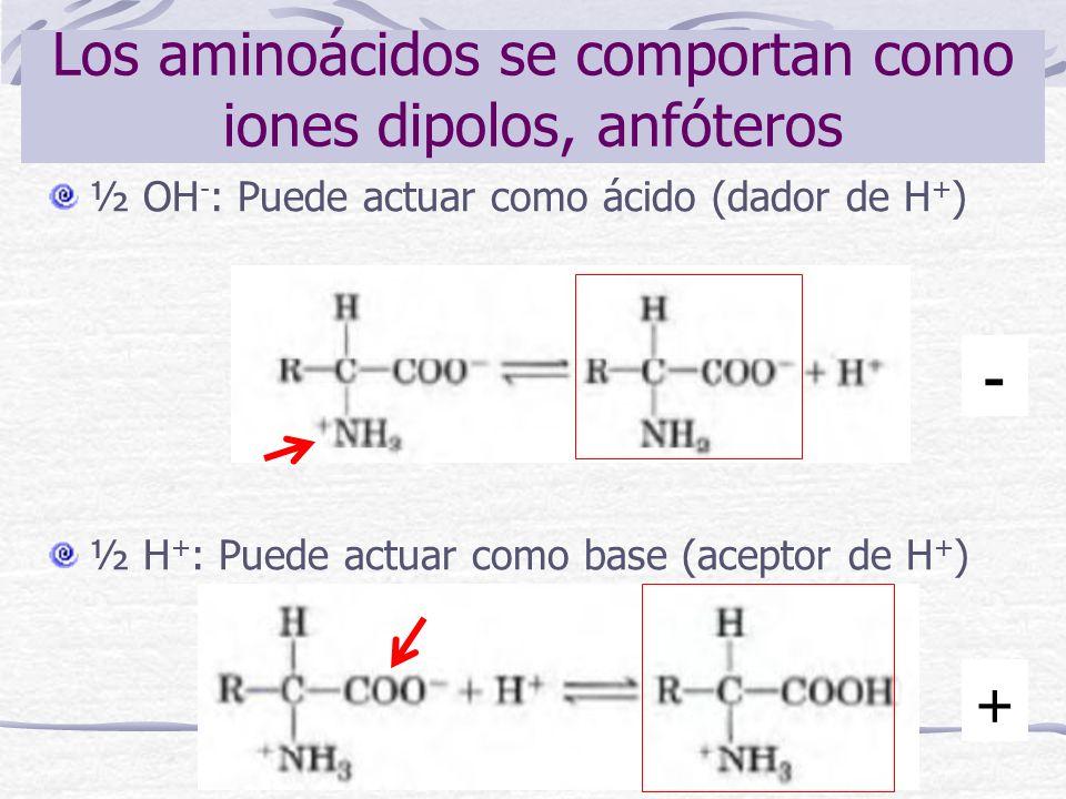 Los aminoácidos se comportan como iones dipolos, anfóteros ½ OH - : Puede actuar como ácido (dador de H + ) ½ H + : Puede actuar como base (aceptor de