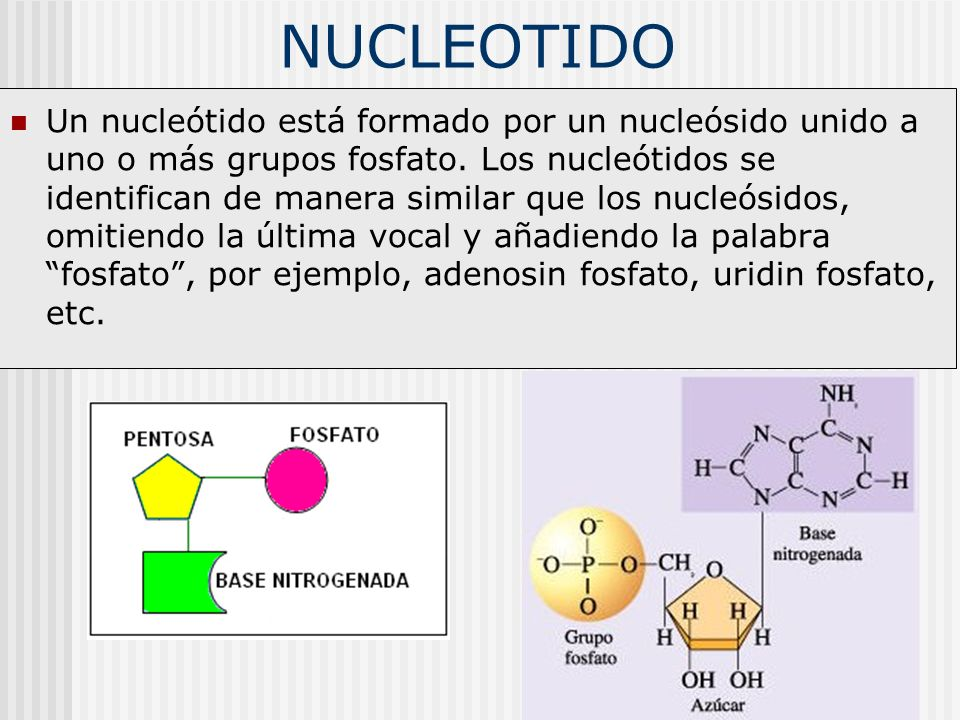 NUCLEOTIDO Un nucleótido está formado por un nucleósido unido a uno o más grupos fosfato. Los nucleótidos se identifican de manera similar que los nuc