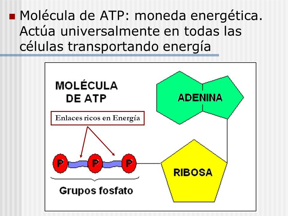 Molécula de ATP: moneda energética. Actúa universalmente en todas las células transportando energía Enlaces ricos en Energía