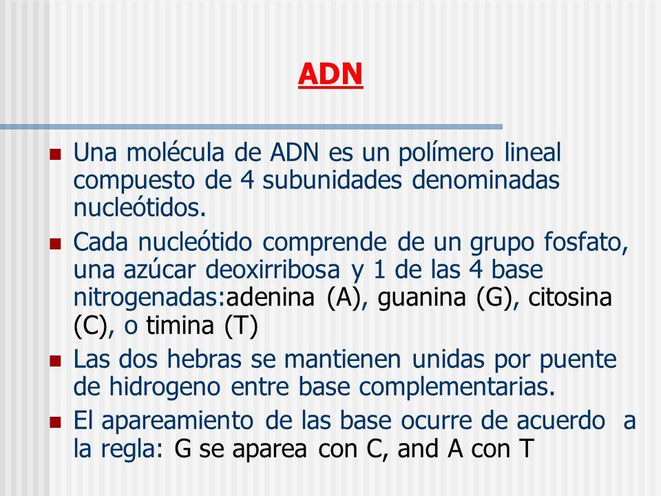 ADN Una molécula de ADN es un polímero lineal compuesto de 4 subunidades denominadas nucleótidos. Cada nucleótido comprende de un grupo fosfato, una a