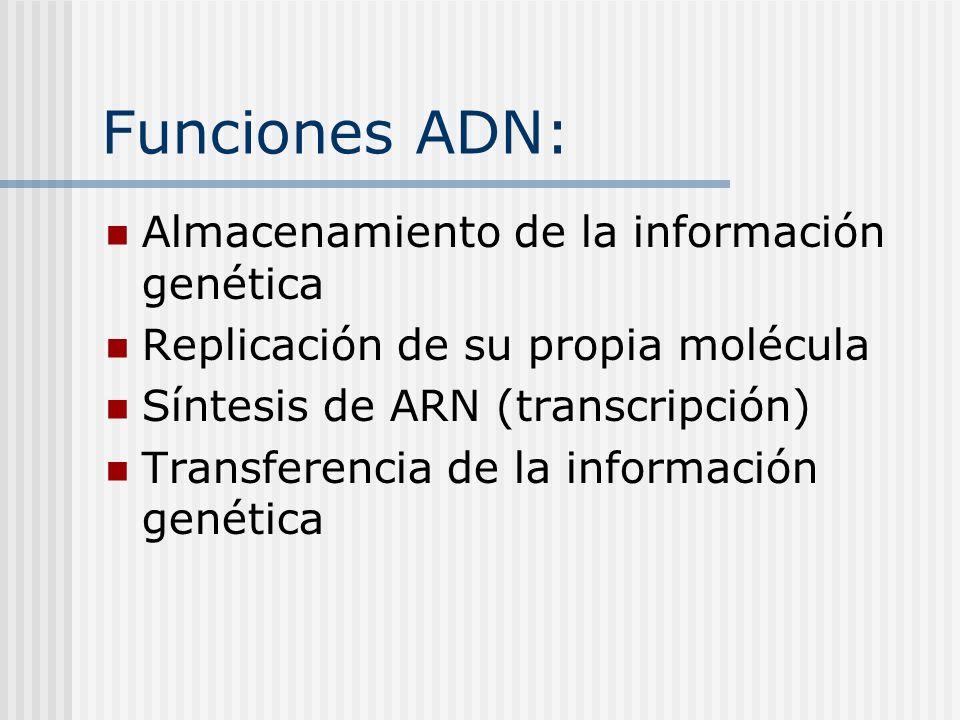 Funciones ADN: Almacenamiento de la información genética Replicación de su propia molécula Síntesis de ARN (transcripción) Transferencia de la informa
