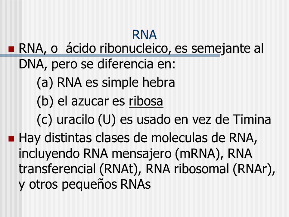 RNA RNA, o ácido ribonucleico, es semejante al DNA, pero se diferencia en: (a) RNA es simple hebra (b) el azucar es ribosa (c) uracilo (U) es usado en