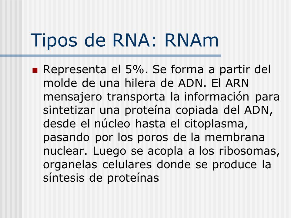 Tipos de RNA: RNAm Representa el 5%. Se forma a partir del molde de una hilera de ADN. El ARN mensajero transporta la información para sintetizar una