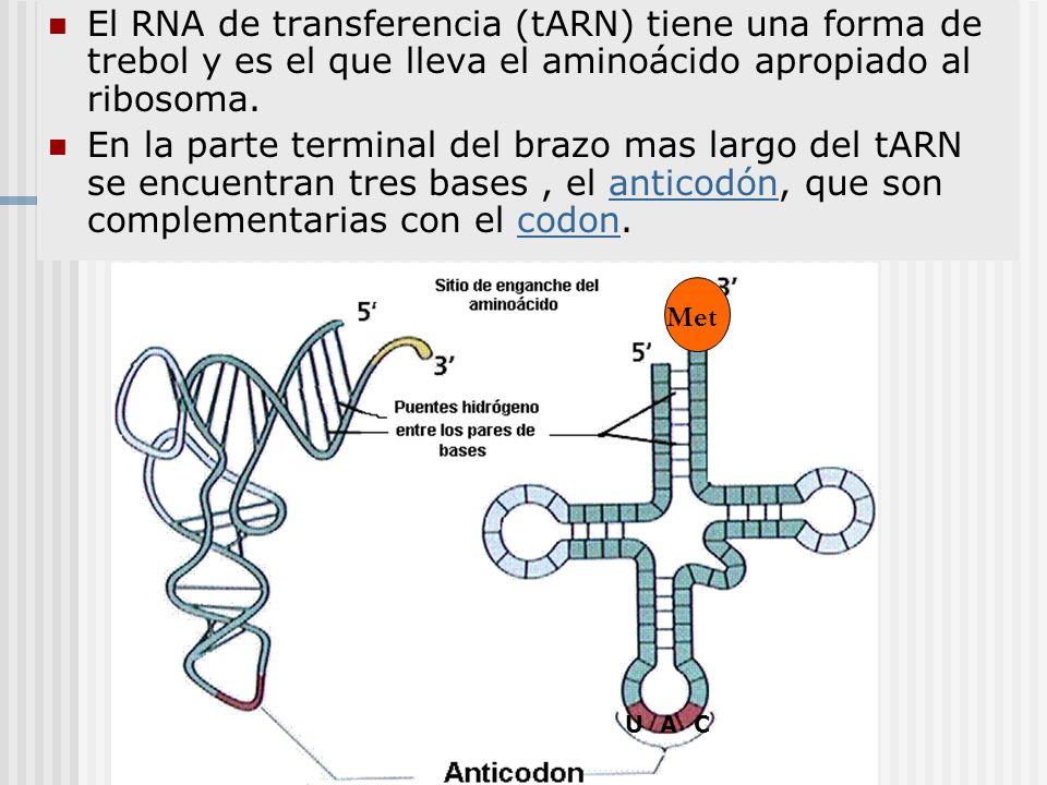 El RNA de transferencia (tARN) tiene una forma de trebol y es el que lleva el aminoácido apropiado al ribosoma. En la parte terminal del brazo mas lar