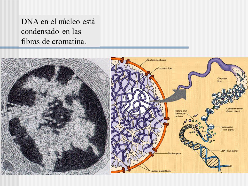 DNA en el núcleo está condensado en las fibras de cromatina.