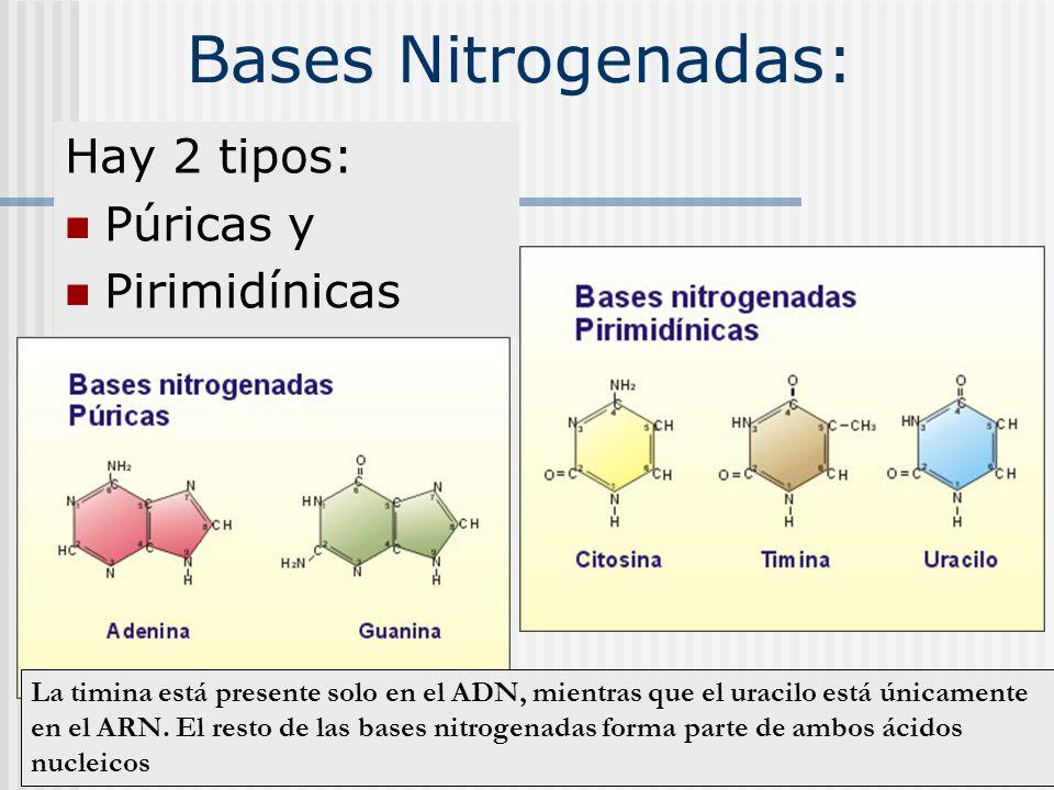 Bases Nitrogenadas: Hay 2 tipos: Púricas y Pirimidínicas La timina está presente solo en el ADN, mientras que el uracilo está únicamente en el ARN. El