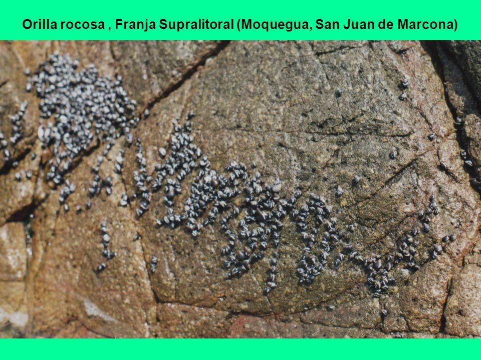 Orilla rocosa, Franja Supralitoral (Moquegua, San Juan de Marcona)