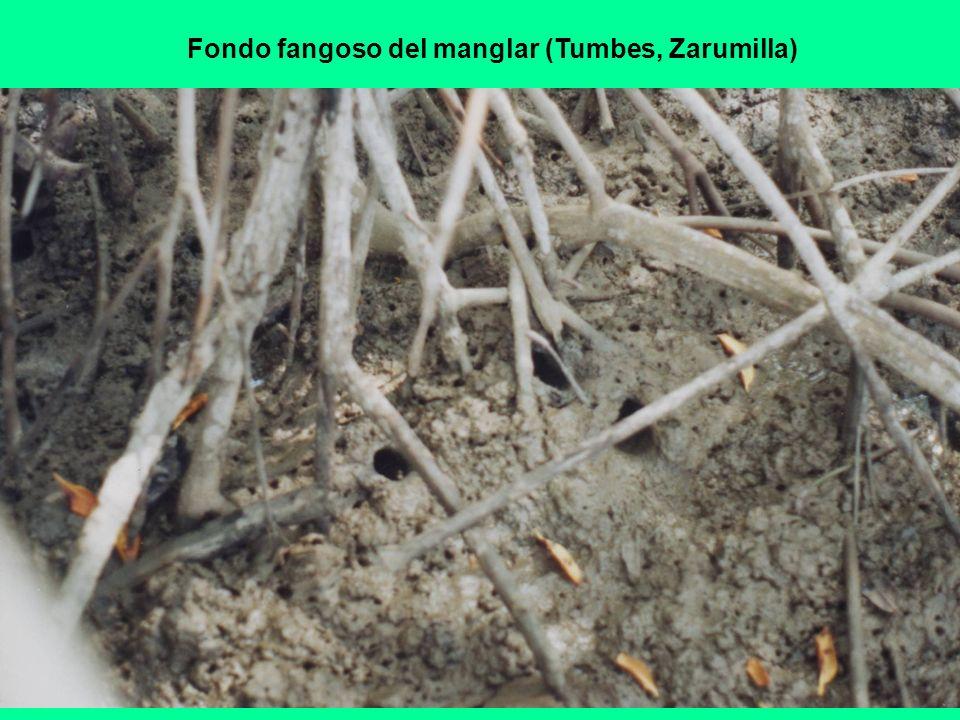Fondo fangoso del manglar (Tumbes, Zarumilla)