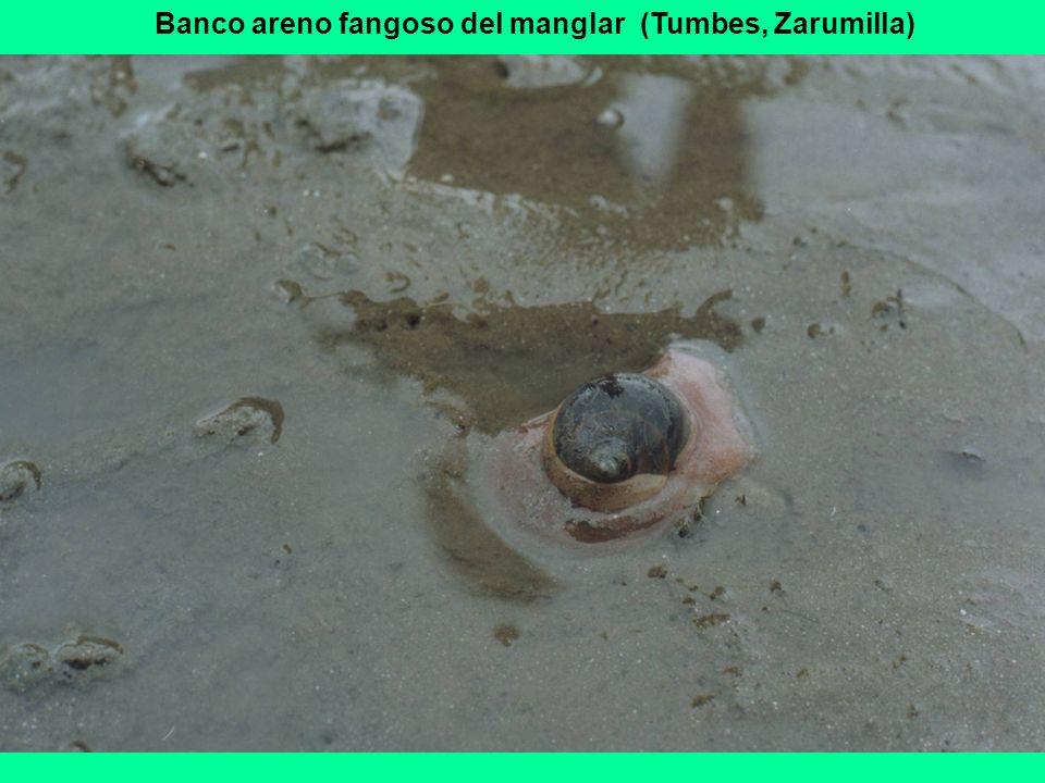 Banco areno fangoso del manglar (Tumbes, Zarumilla)