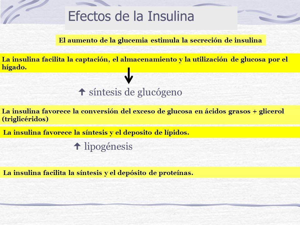 1º (+) gluconeogénesis (+) glucogenolisis (+) GLUCAGON Amoniaco Urea - cetoácidos