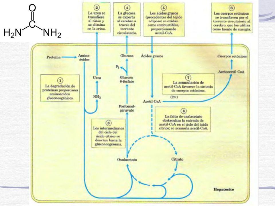 Hipoglucemia luego de ayuno prolongado o diabético insulino dependiente Hay malestar y confusión mental