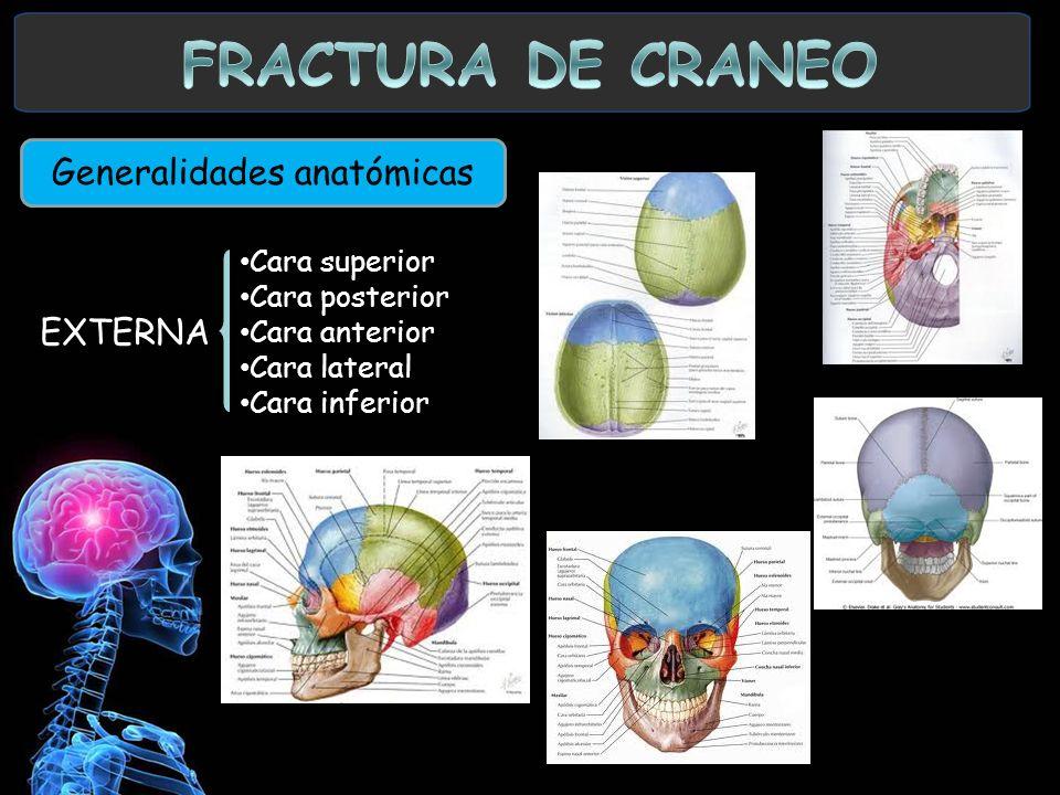 Generalidades anatómicas EXTERNA Cara superior Cara posterior Cara anterior Cara lateral Cara inferior