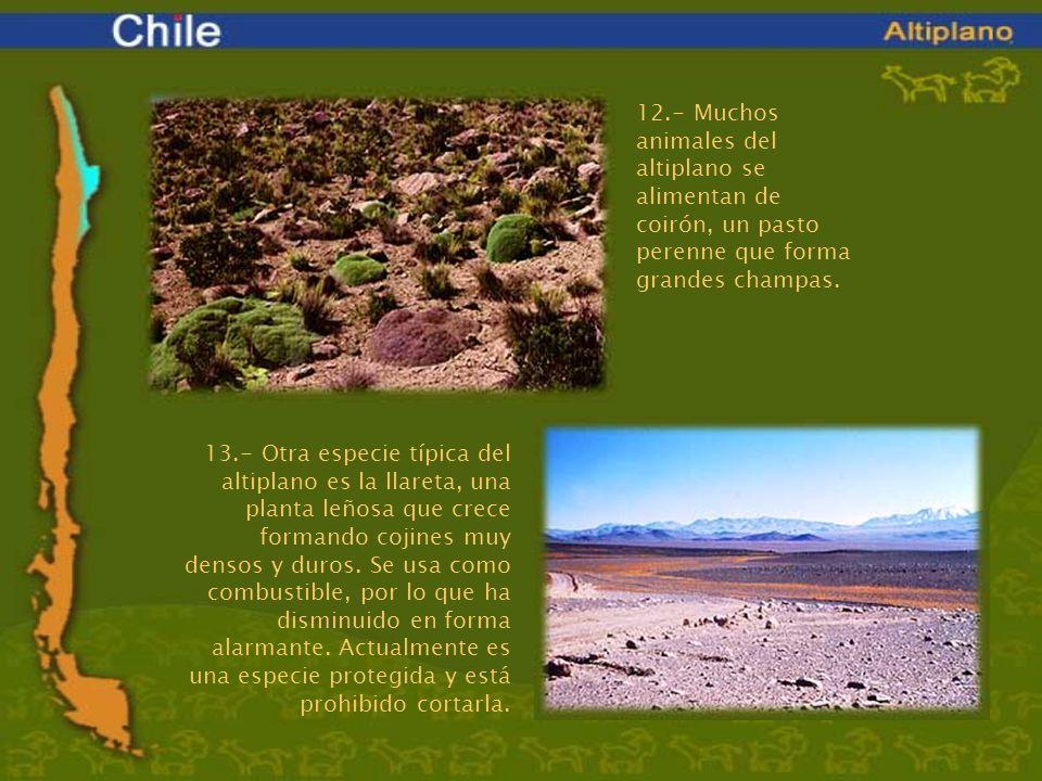 12.- Muchos animales del altiplano se alimentan de coirón, un pasto perenne que forma grandes champas. 13.- Otra especie típica del altiplano es la ll