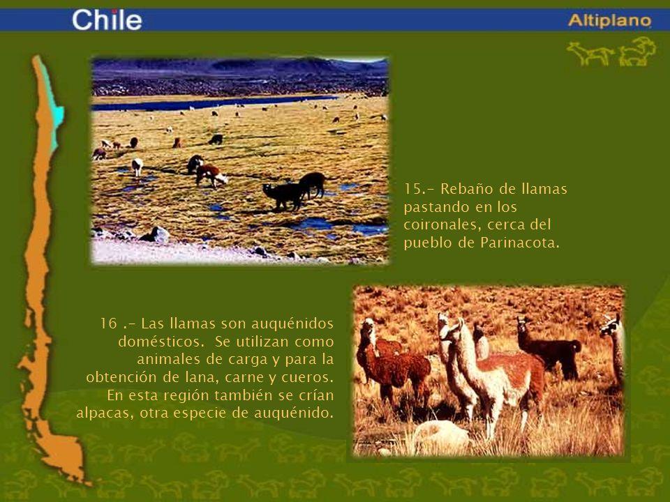 15.- Rebaño de llamas pastando en los coironales, cerca del pueblo de Parinacota. 16.- Las llamas son auquénidos domésticos. Se utilizan como animales
