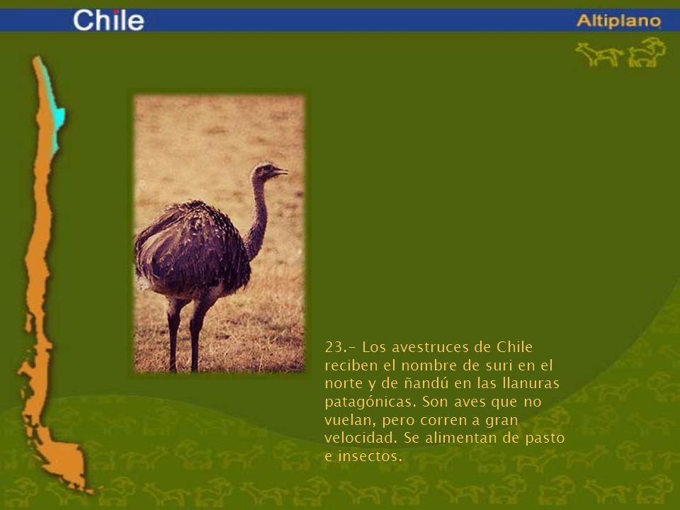 23.- Los avestruces de Chile reciben el nombre de suri en el norte y de ñandú en las llanuras patagónicas. Son aves que no vuelan, pero corren a gran