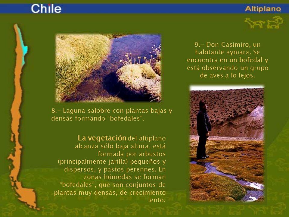 La vegetación del altiplano alcanza sólo baja altura; está formada por arbustos (principalmente jarilla) pequeños y dispersos, y pastos perennes. En z