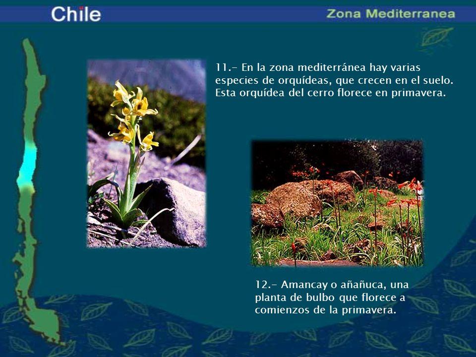 11.- En la zona mediterránea hay varias especies de orquídeas, que crecen en el suelo. Esta orquídea del cerro florece en primavera. 12.- Amancay o añ