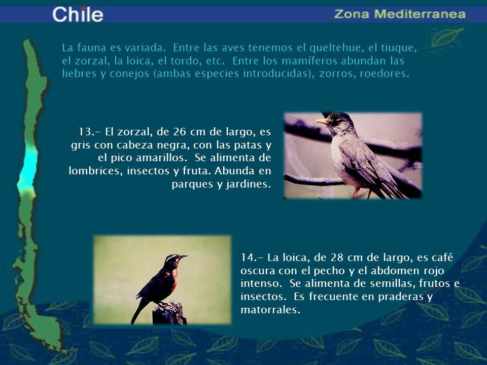 La fauna es variada. Entre las aves tenemos el queltehue, el tiuque, el zorzal, la loica, el tordo, etc. Entre los mamíferos abundan las liebres y con