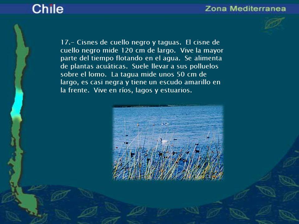 17.- Cisnes de cuello negro y taguas. El cisne de cuello negro mide 120 cm de largo. Vive la mayor parte del tiempo flotando en el agua. Se alimenta d