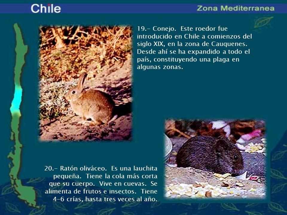 20.- Ratón oliváceo. Es una lauchita pequeña. Tiene la cola más corta que su cuerpo. Vive en cuevas. Se alimenta de frutos e insectos. Tiene 4-6 crías