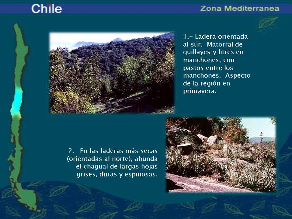 Nombre científico de las especies: Plantas Amancay o añañuca: Phycella bicolor Boldo: Peumus boldus Clavel del campo: Mutisia sp.