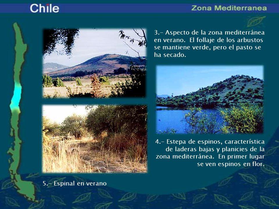 3.- Aspecto de la zona mediterránea en verano. El follaje de los arbustos se mantiene verde, pero el pasto se ha secado. 4.- Estepa de espinos, caract