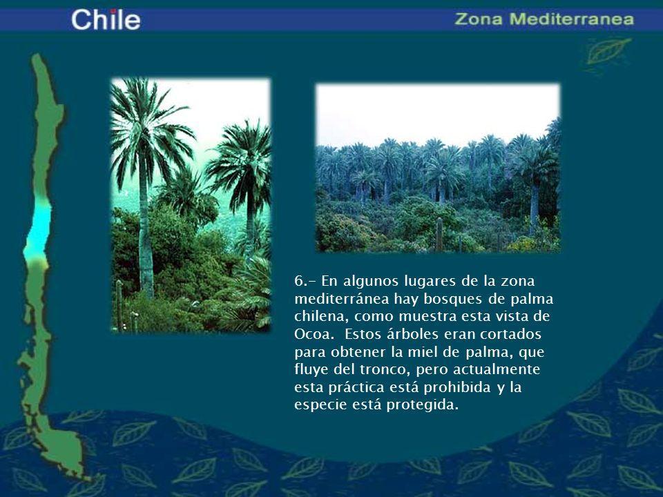 6.- En algunos lugares de la zona mediterránea hay bosques de palma chilena, como muestra esta vista de Ocoa. Estos árboles eran cortados para obtener
