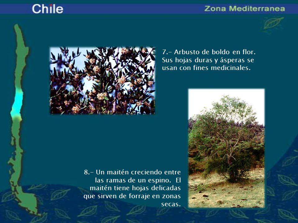 7.- Arbusto de boldo en flor. Sus hojas duras y ásperas se usan con fines medicinales. 8.- Un maitén creciendo entre las ramas de un espino. El maitén