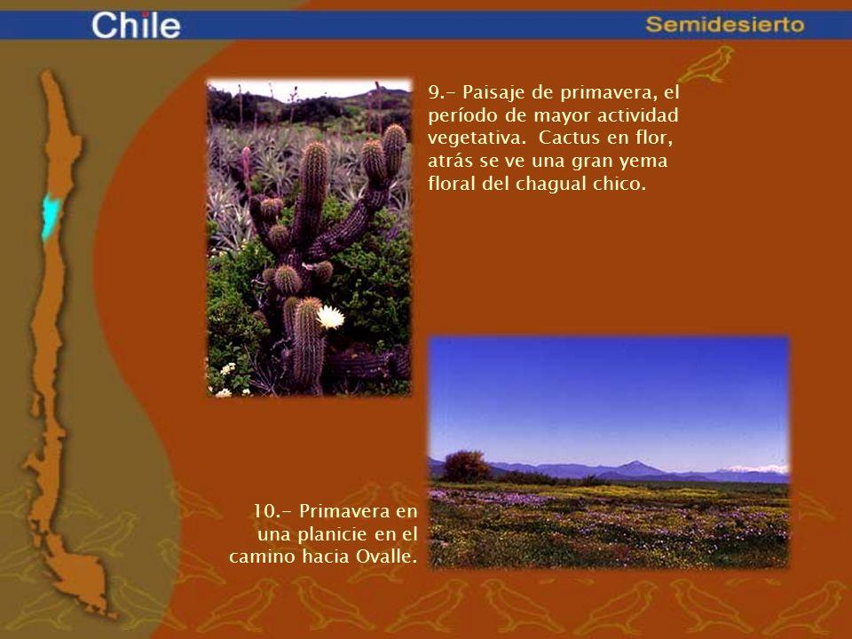 9.- Paisaje de primavera, el período de mayor actividad vegetativa. Cactus en flor, atrás se ve una gran yema floral del chagual chico. 10.- Primavera