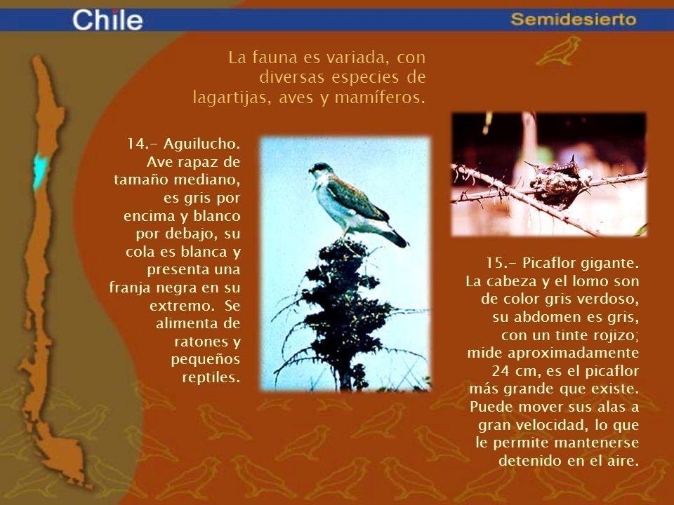 La fauna es variada, con diversas especies de lagartijas, aves y mamíferos. 14.- Aguilucho. Ave rapaz de tamaño mediano, es gris por encima y blanco p