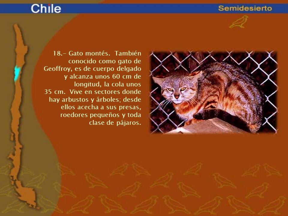 18.- Gato montés. También conocido como gato de Geoffroy, es de cuerpo delgado y alcanza unos 60 cm de longitud, la cola unos 35 cm. Vive en sectores