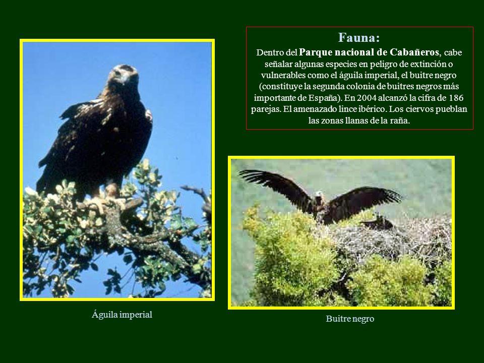 Fauna: Dentro del Parque nacional de Cabañeros, cabe señalar algunas especies en peligro de extinción o vulnerables como el águila imperial, el buitre negro (constituye la segunda colonia de buitres negros más importante de España).