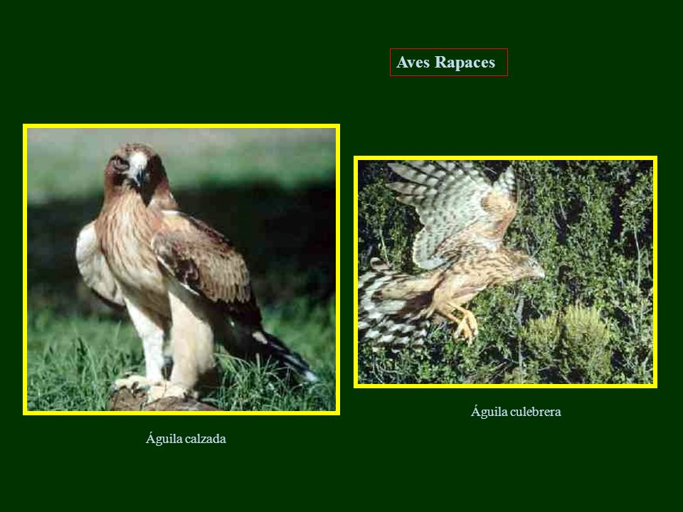 Águila calzada Águila culebrera Aves Rapaces