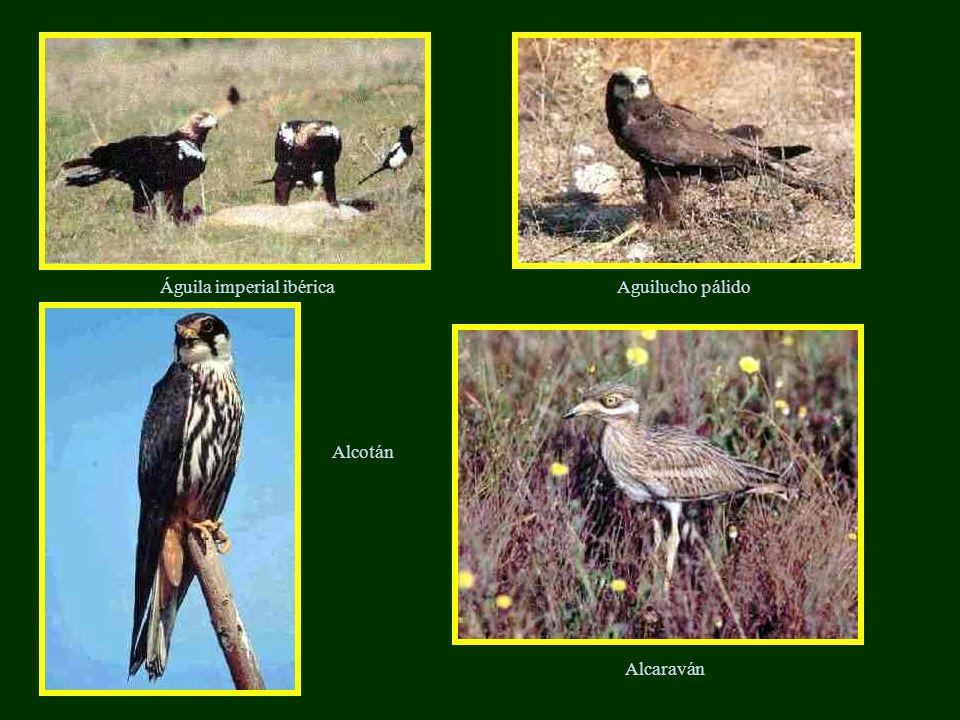 Águila imperial ibérica Alcotán Alcaraván Aguilucho pálido