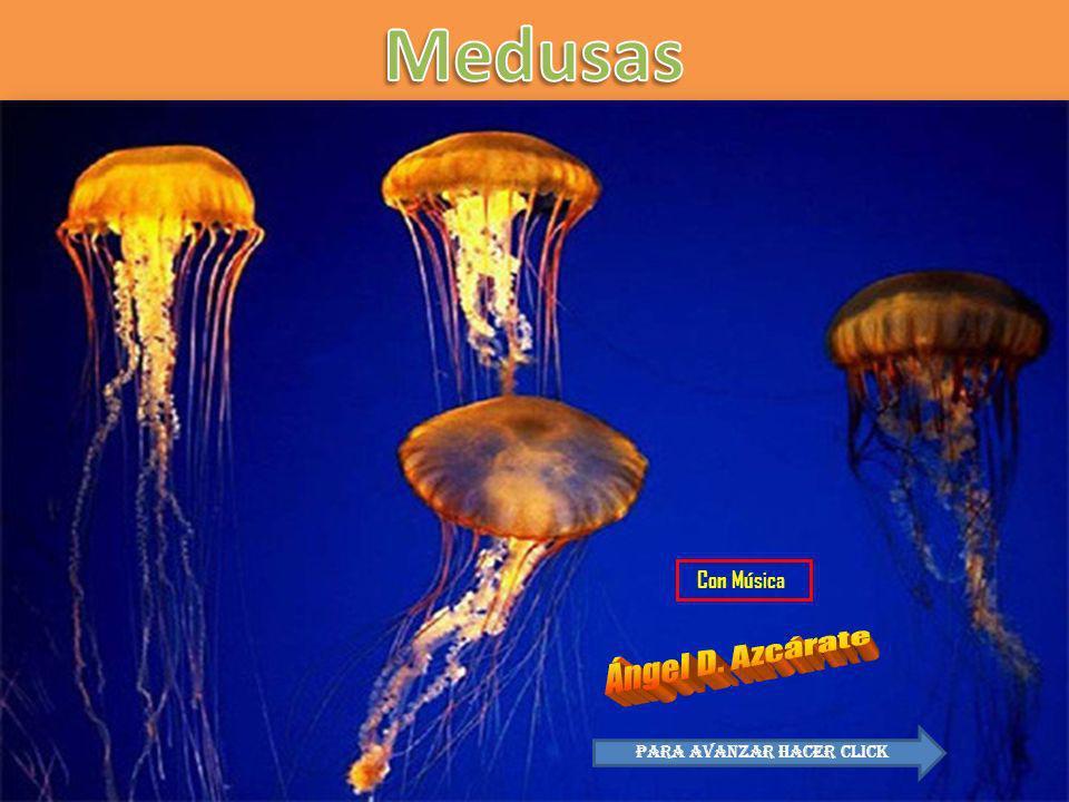 La aurelia aurita después de ser cocinada En Asia, particularmente en China e Indonesia se utiliza para consumo humano.